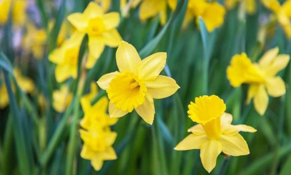 Narciso, otra de las plantas tóxicas para gatos