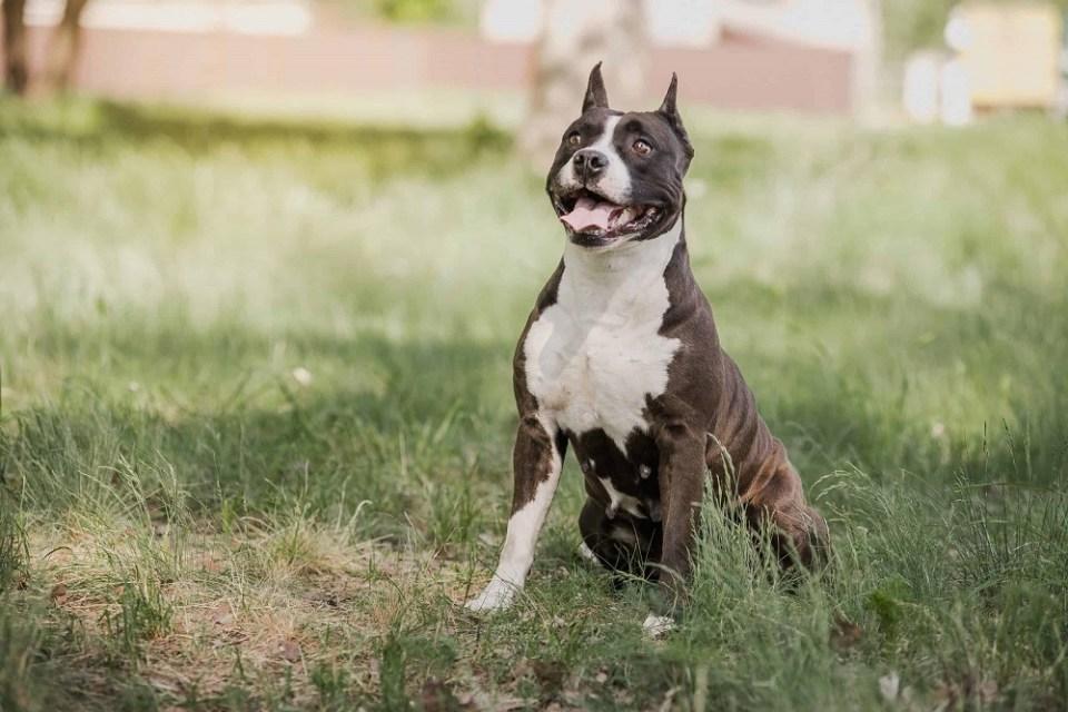 raza american staffordshire terrier
