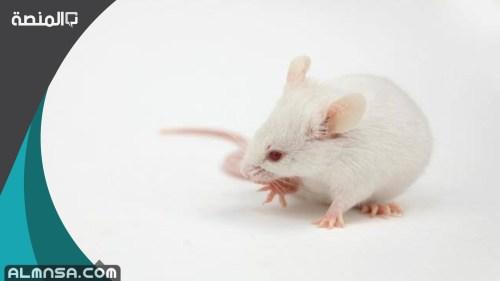 تفسير الحلم بالفئران البيضاء في المنام