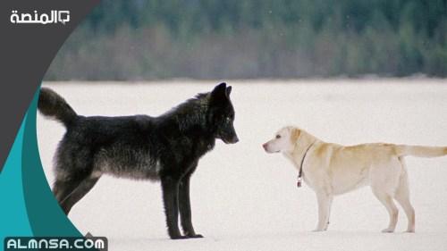 الفرق بين الذئب والكلب