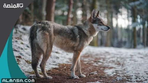 تفسير حلم رؤية الذئب للامام الصادق