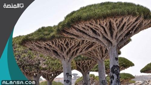 أسماء الأشجار المعمرة في الإمارات