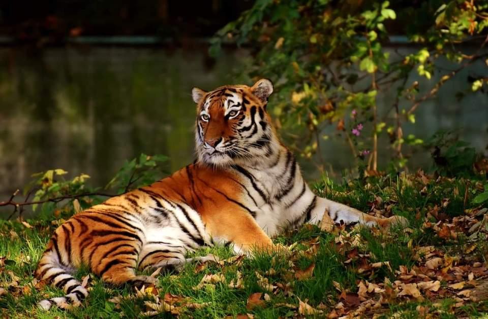 Tigreu Grădina Zoologică Hellabrunn