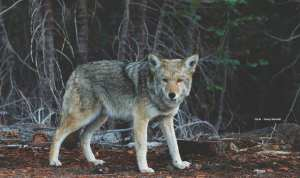 Dog or wolf: the origins of the domestic dog