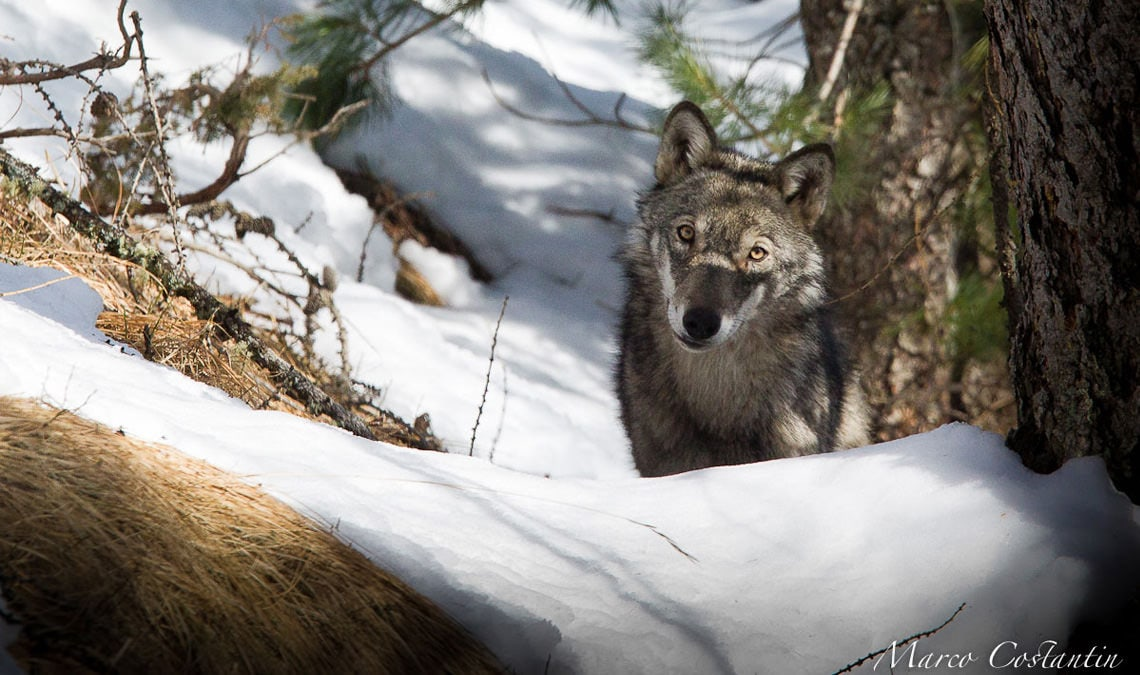 """The Art in being Wolf"": a unique initiative to help better understand and better protect the predator"