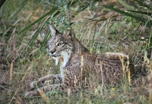 Farmers&Predators: the Iberian Lynx, from Andujar to Coto Doñana