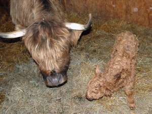 Brand new Highland calf