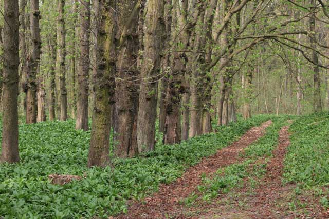 Ramsons in forest