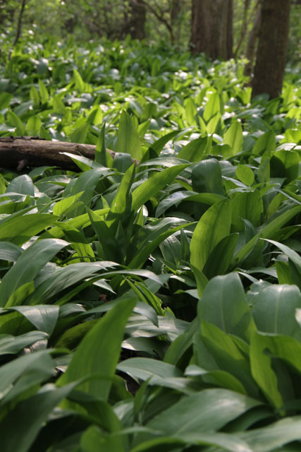 Carpet of ramsons in forest