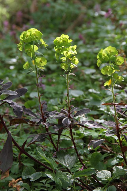 purple wood spurge?
