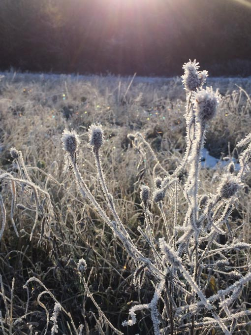 weeds covered in hoar frost