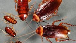تفسير حلم الصراصير في المنام للعزباء