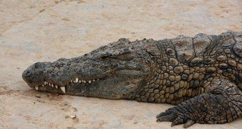 تفسير حلم التمساح الميت في المنام
