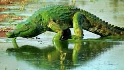تفسير حلم التمساح الأخضر في المنام