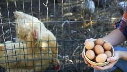 تفسير حلم رؤية جمع البيض في المنام
