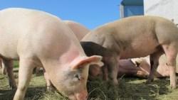 تفسير حلم تربية الخنزير في البيت في المنام