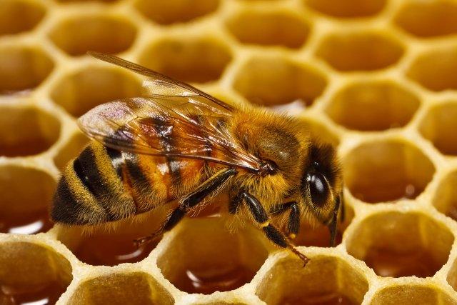 عسل - نحل