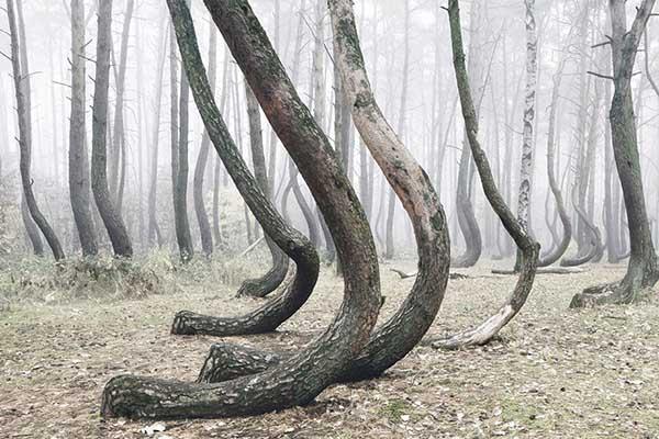 غابة الأشجار المنحنية