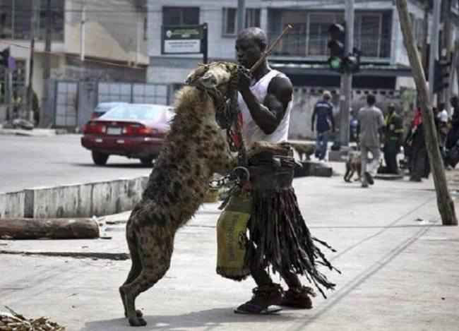 لقطات صادمة لأشخاص يتنزهون مع حيوانات مفترسة2