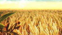 انخفاض أسعار القمح بالأسواق العالمية
