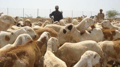 Photo of الثروة الحيوانية تشدد على مطابقة بواخر شحن الماشيةللمواصفات الفنية والبيطرية