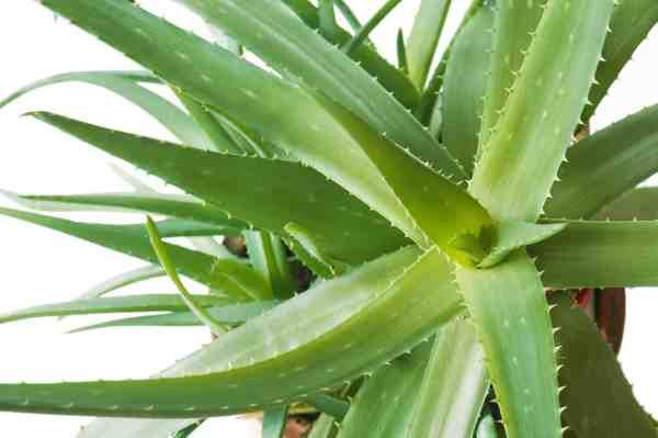 How to make your own Aloe Vera Juice Aloe Vera HQcom