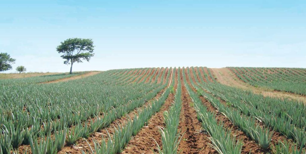 Forever Aloe Fields