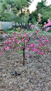 Nectarine Tree in Spring - each blossom will grow into a fruit