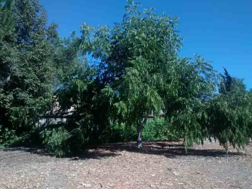 Aloha Farms Food Forest Pecan Tree grew fuller and wider after trimming and the fruits were in reach.