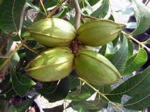 This is the fruit on the pecan tree