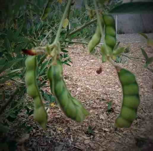 Pigeon Peas – Nutritious food for chickens, turkeys, and people :)