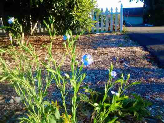Flax Volunteering in the Food Forest