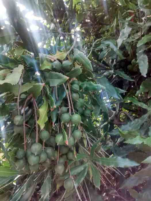 Aloha Farms food forest Macadamia Tree in January 2017