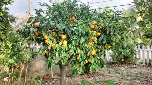 Aloha Farms food forest Tangerine Tree in February 2017