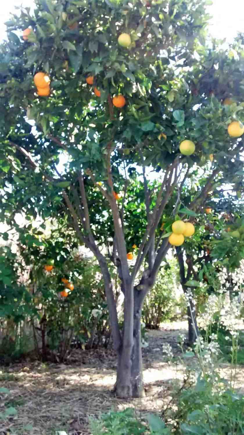 Aloha Farms food forest Valencia Orange Tree in February 2017