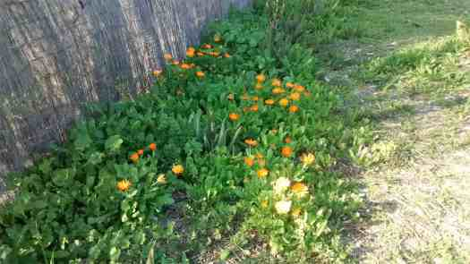 Aloha Farms food forest Calendula and Lettuce growing along with other Volunteers in February 2017