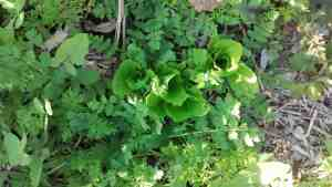 Aloha Farms food forest Romaine Lettuce growing from seed February 2017