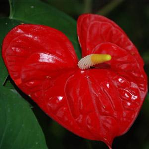 Red Anthurium Flower Aloha Hawaiian Flowers