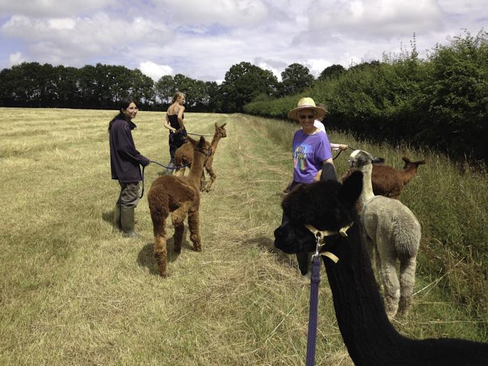 Walking Alpacas With Lucy And Deborah Alpaca Walking