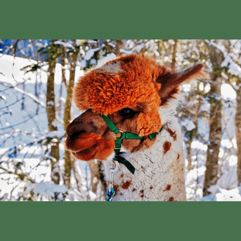 Alpaka-Gschnitz-7-Alpaka-Auswahl Gschnitzer Alpaka