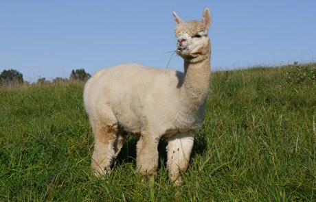 Alpaka Deckhengst ADW Frilander