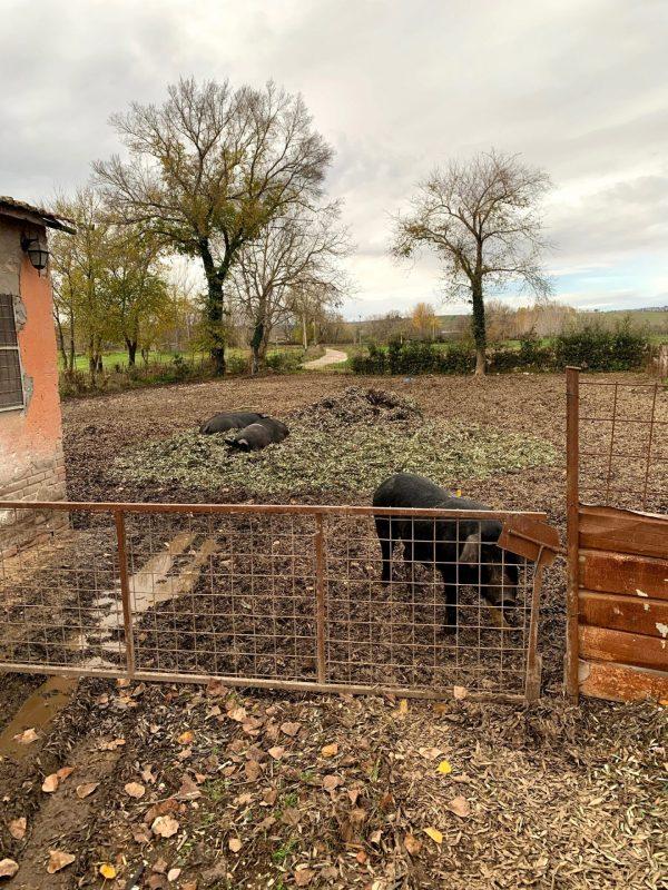 maiali agricola nera