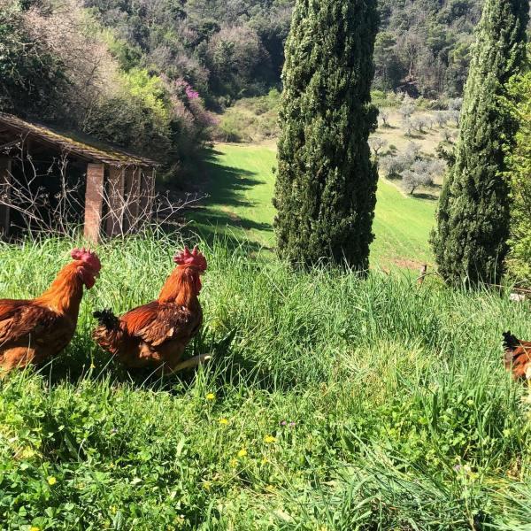 polli agricola nera