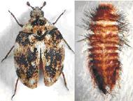 Anthrenus fasciatus