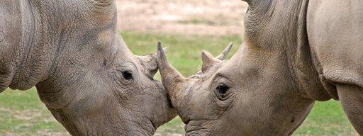 3d_printed_rhino_horn