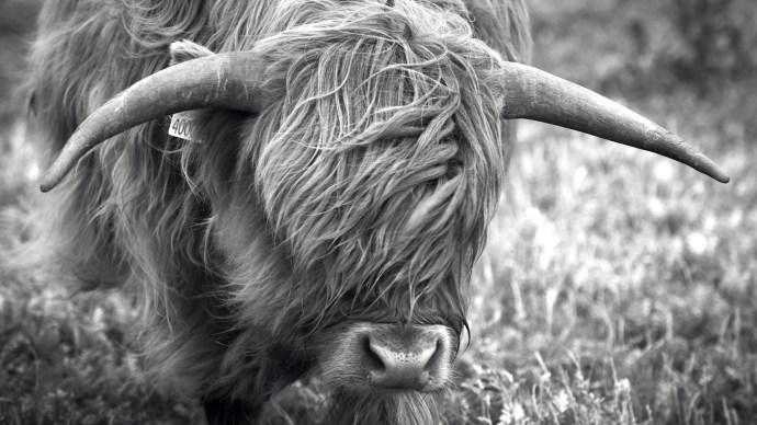 ten-science-myths-scottish-highland-cow