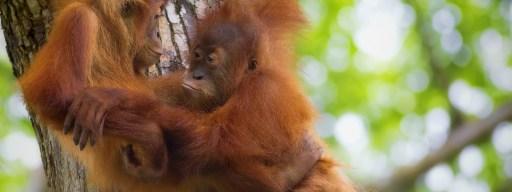 orangutans_hug_