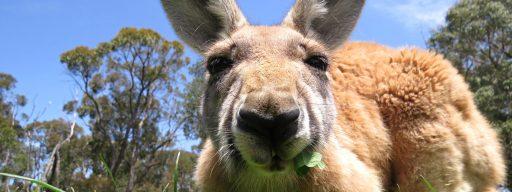 volvo_driverless_car_tech_confused_by_kangaroos