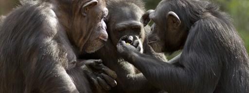 chimps_rock_paper_shotgun