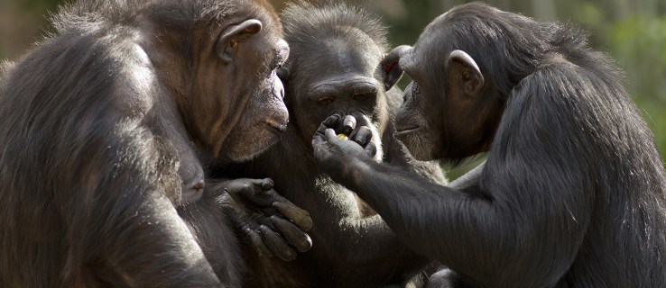 Chimps can be taught to play Rock Paper Scissors as well as four-year-olds